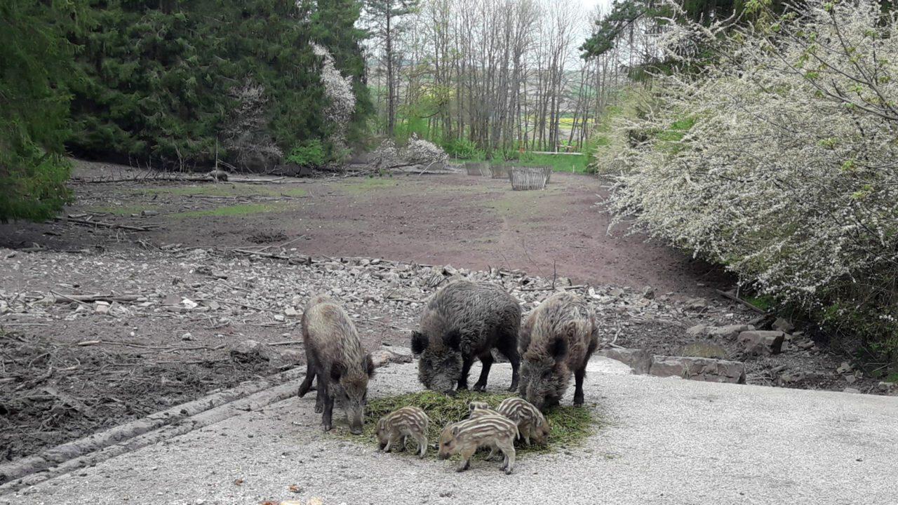 Wald- und Erlebnispfad am Wildschweingehege Dietingen